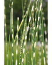 Scirpus tabernaemontani zebrinus - Zebracsíkos káka