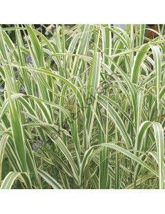 Glyceria maxima 'Variegata' - Vízi harmatkása