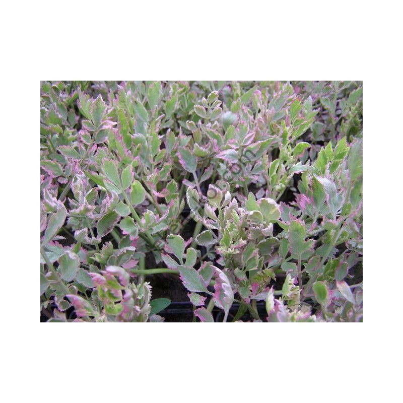 Denanthea Aguatica (Tarkalevelű vízi mételykóró)