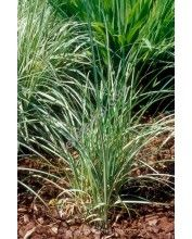 Carex riparia - Parti sás