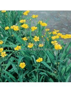 Ranunculus lingua L. - Nádi boglárka