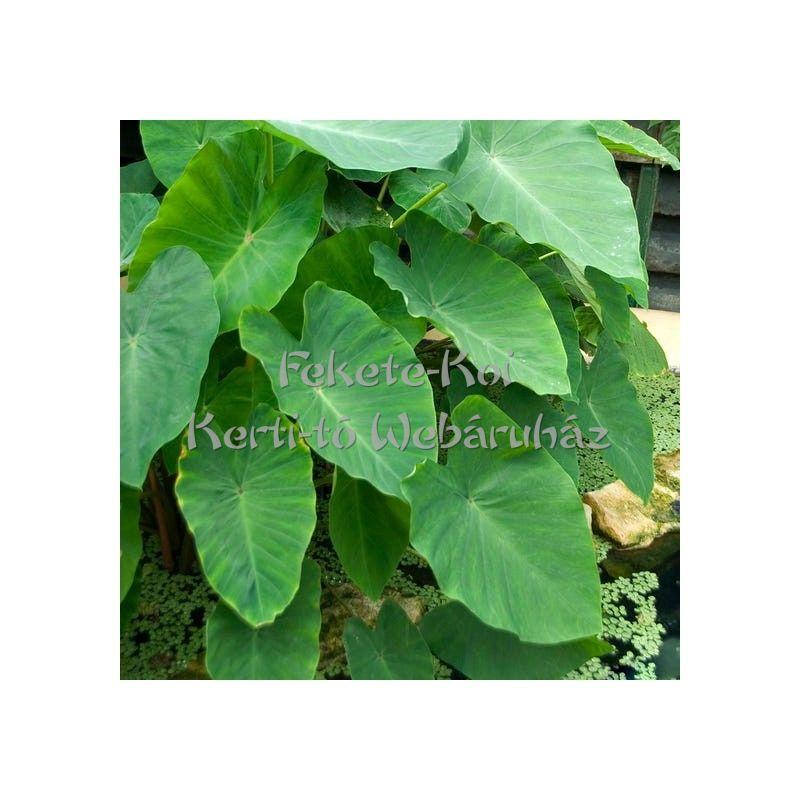 Colocasia esculenta - Táró