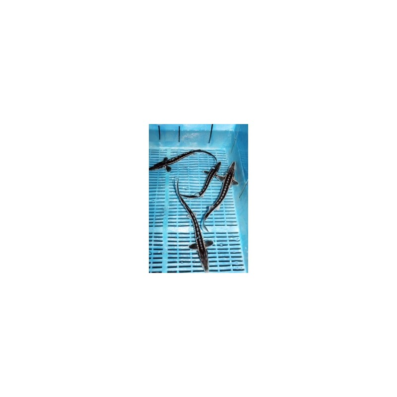 Aligátor tok 40-50 cm