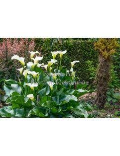 Zantedeschia aethiopica  Fehér tölcsérvirág
