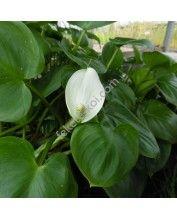 Calla palustris - Sárkánygyökér