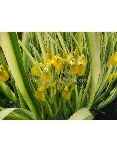 Íris pseudacorus variegata - Csíkos levelű írisz