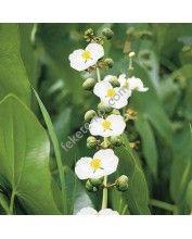 Sagittaria latifolia - Széleslevelű nyílfű