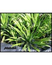 Stratiotes aloides kolokán(vízi kaktus)