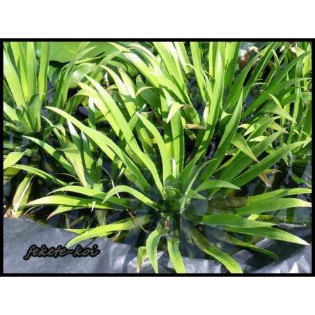 Stratiotes aloides kolokán (vízi kaktusz)
