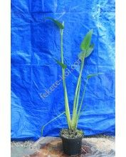 Pontaderia azurea - kékszínű pontadéria