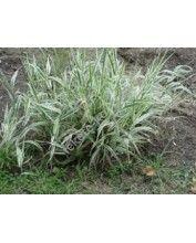 Phalaris arundinacea - Csíkos pántlikafű