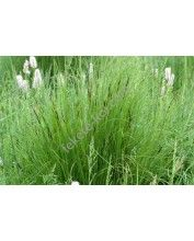 Carex nigra)