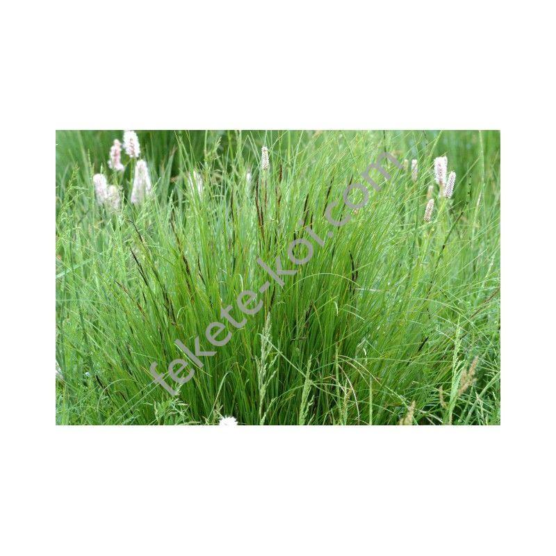 Carex nigra -Fekete sás (122)