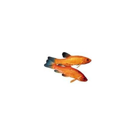 Arany compó ( Tinca tinca ) 10-12 cm