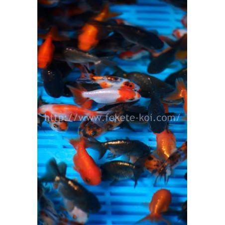 Tiger head mix 5-8 cm