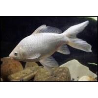 Fehér aranyhal