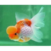 Hólyagfejű rizsszemes aranyhal
