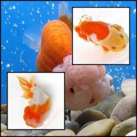 Ranchu osztottfarkú aranyhal akváriumba és kerti tóba nagy választékba