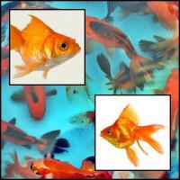 Ryukin piros osztottfarkú aranyhal