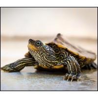 Teknős táp, teknős mix, teknős eledel kíválló minőség kedvező ár.