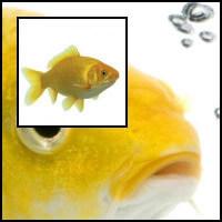 Sárga tavi aranyhal