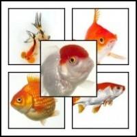 Aranyhal, tavi hal, koi ponty, kertitó