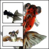 Black Moor, Moor Mix teleszkópszemmű osztottfarkú aranyhal