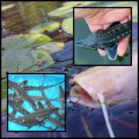 Tokhalak és fenékjáró halak