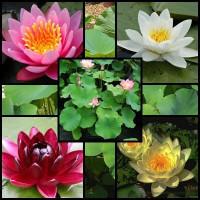 Tavirózsák lótuszok különféle formájú és színű virágokkal