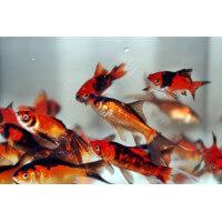 Aranyhal Piros-fekete